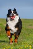 Dog run Royalty Free Stock Photo