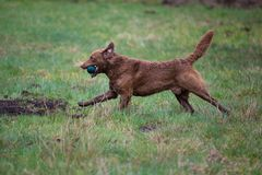 Dog on the run. The dog breed Chesapeake Bay Retriever stock images
