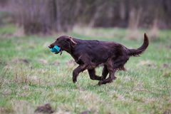 Dog on the run. Breed dog Flat Coated Retriever stock images