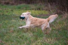 Dog on the run. Breed dog Golden Retriever royalty free stock photos