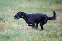 Dog on the run. Breed dog Flat Coated Retriever stock photography