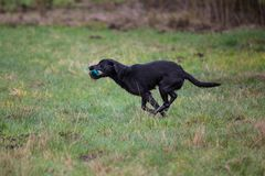 Dog on the run. Breed dog Labrador Retriever royalty free stock photo