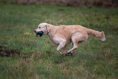 Dog on the run. Breed dog Golden Retriever royalty free stock photo