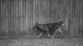 Running Dog. German Shepherd dog running in front of fence Stock Images