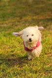 Dog run on the grass Stock Images