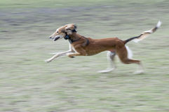 Dog run,Levrier of Afgan and Iran. Dog Levrier is from Iran or Afgan Royalty Free Stock Photos