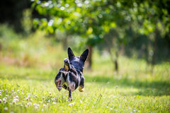 Dog run in meadow Stock Image