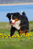 Dog run in the meadow Stock Photography