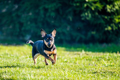 Dog run in meadow. Black small dog run in green meadow, summer time royalty free stock photo