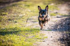 Dog run in meadow. Black small dog run in meadow, summer time stock photography