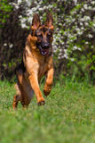 Dog run in park Royalty Free Stock Image