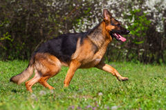 Dog run in park Stock Images