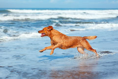 Dog run by sand beach along sea surf. Photo of golden retriever walking on sand beach. Happy dog wet after swimming run with water splashes along sea surf Stock Photography