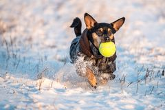Dog run through snow. Dog with clothes runing through snow holding yellow ball in her mouth stock photo