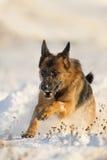 Dog run in snow. German shepherd dog run in winter field in snow royalty free stock image