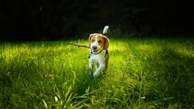 Dog run towards camera on a green grass outdoors fetching. A stick stock image