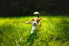 Dog run towards camera on a green grass outdoors fetching. A stick royalty free stock image