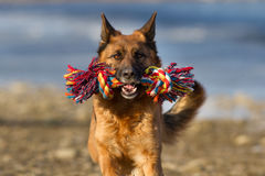 Dog run with toy Stock Images