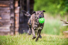Dog run with toy Royalty Free Stock Photos