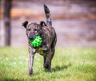 Dog run with toy. Mixed breed dog run command bring me toy royalty free stock image