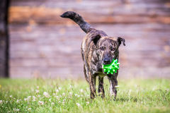 Dog run with toy. Mixed breed dog run command bring me toy stock photo