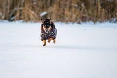 Dog run in winter royalty free stock photos