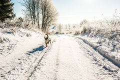 Dog run in winter road. Trees and grass in field covered by snow and frost royalty free stock image