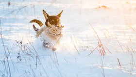 Dog run in winter snow. Mixed breed dog happy run with toy in winter snow at sunset time stock image