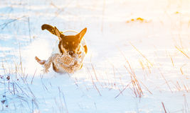 Dog run in winter snow Stock Photo