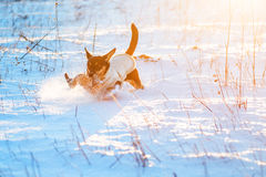 Dog run in winter snow Stock Image