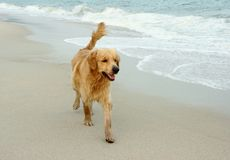 Dog runing. royalty free stock images