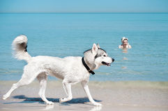 Dog runing along the shoe of  sea Royalty Free Stock Photography