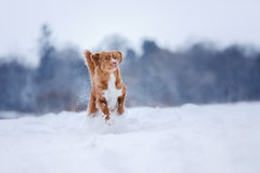Dog runnig over a stick in nature, winter and snow Royalty Free Stock Photography
