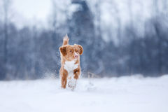 Dog runnig over a stick in nature, winter and snow Stock Photos
