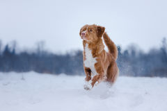 Dog runnig over a stick in nature, winter and snow Royalty Free Stock Photo