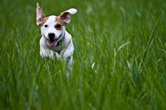 Dog running. Jack Russell running in grass Stock Photography