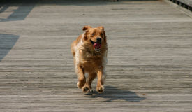Dog Running. With tongue hanging out Royalty Free Stock Photo