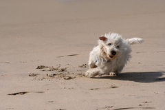 Dog running. In the beach Royalty Free Stock Images