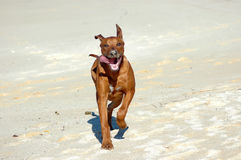 Dog running. A beautiful cute Rhodesian Ridgeback hound dog with tongue out running in the sand dunes on the beach towards other dogs Stock Image