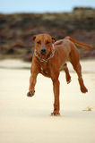Dog running. A cute active Rhodesian Ridgeback hound dog running and jumping towards other dogs on the beach having fun in South Africa Stock Images