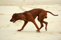 Dog running Stock Photos