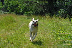 Dog running. White Labrador retriever mix rescued puppy dog running in field Royalty Free Stock Photography