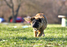 dog running Royaltyfria Foton