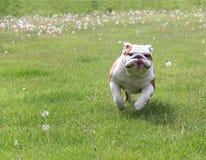 Dog running. English bull in the grass stock photography