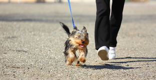 Dog running. A Yorkshire terrier dog running outdoor Stock Photo