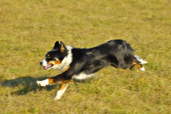 Dog running. A Border Collie/Appenzell (Swiss breed) cross, running in evening light. Motion blur on feet, tail and background. Copyspace at top of image Royalty Free Stock Photos