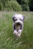 Dog running. Happy Bearded Collie running through a field of long grass Stock Image