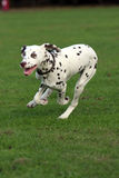 Dog running Royalty Free Stock Photo