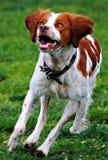 Dog running. A dog running on grass royalty free stock photo
