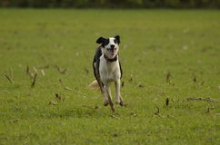 dog running Arkivbild